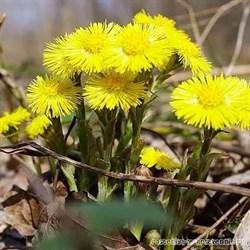 Мать-и-мачеха трава и лист - фото 4751