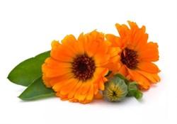 Календула, цветы - фото 4942