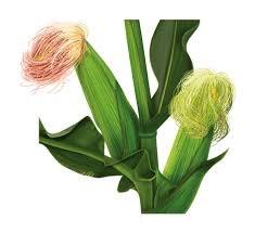 Кукурузные рыльца - фото 5517