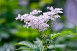 Лабазник (Таволга), цветы - фото 5735