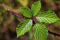 Ежевика сизая, лист и трава - фото 5748