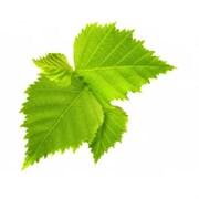Береза повислая лист