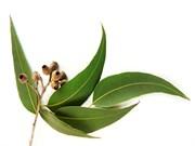 Эвкалипт прутовидный лист