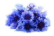Василек синий, цветы